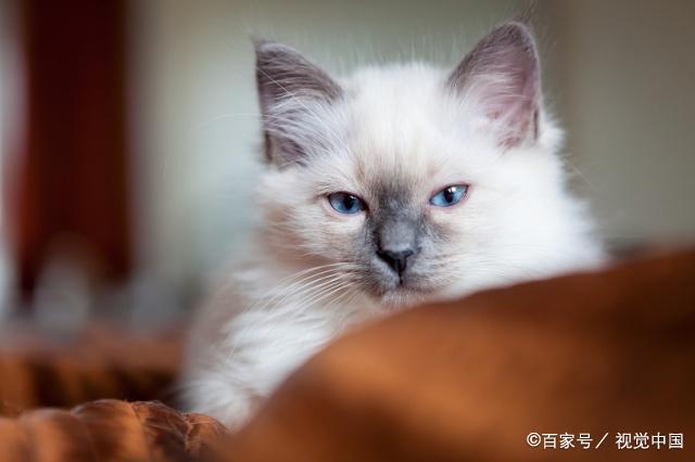 伯曼猫为什么不能养 伯曼猫缺点